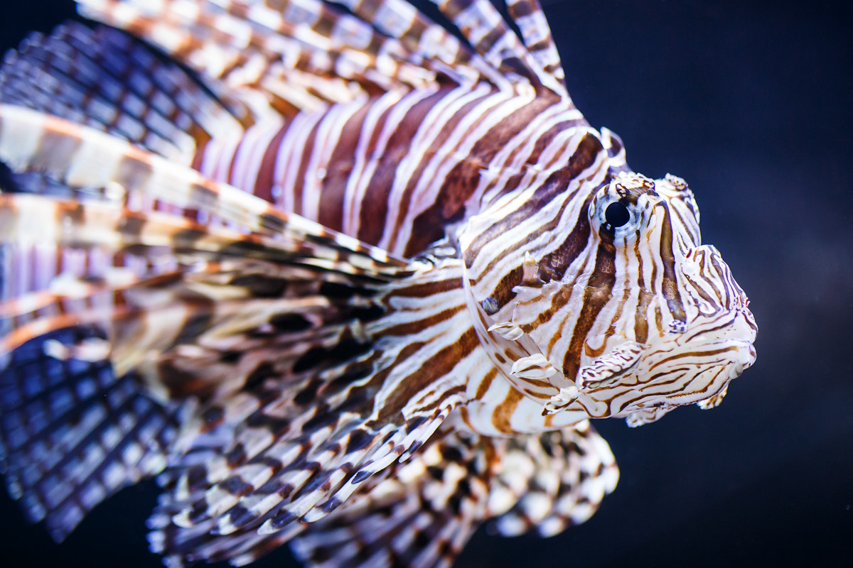 Photograph Lion Fish by Jeremy Hall on 500px