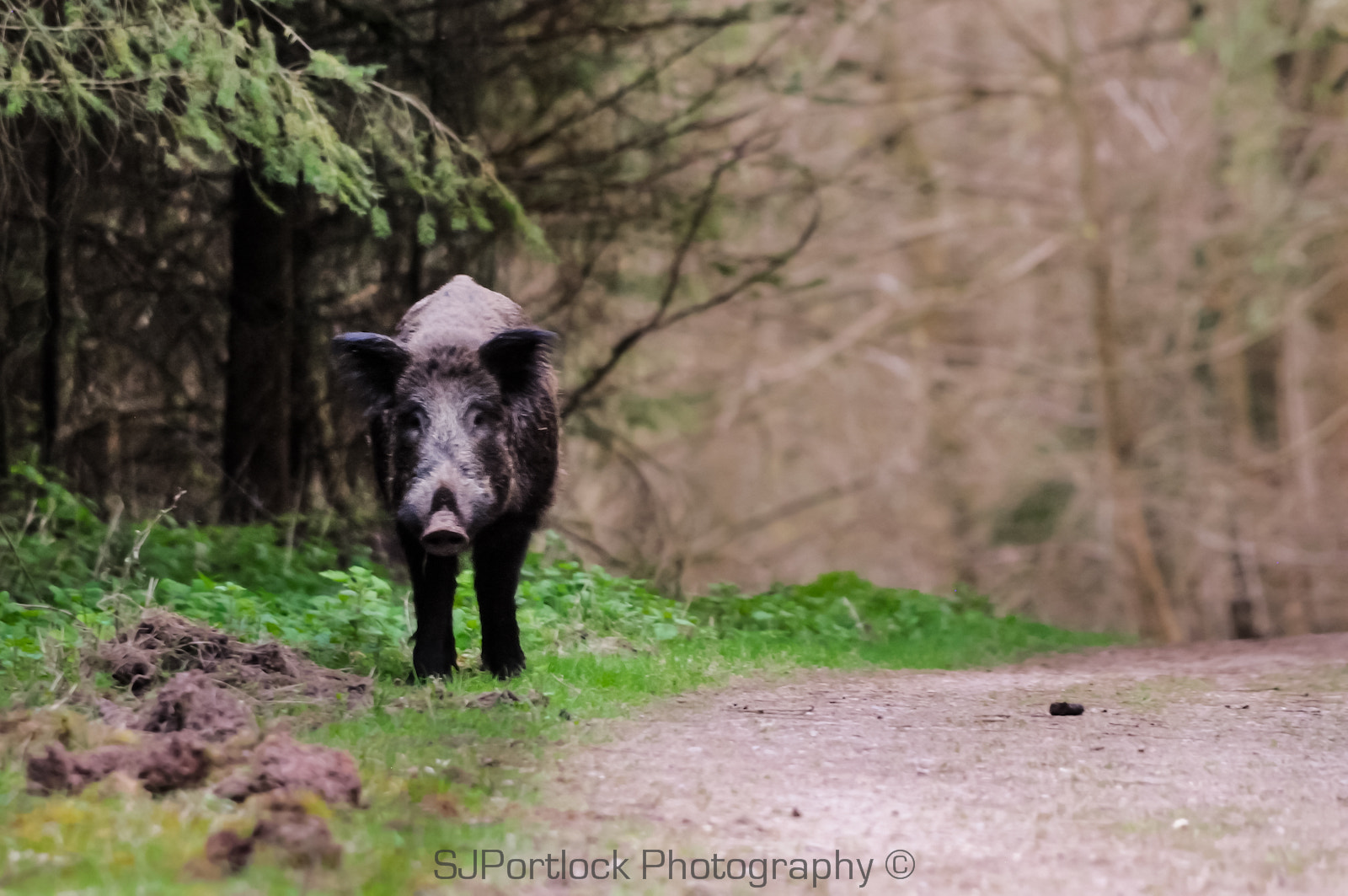 Photograph King Boar  by Stephen Portlock on 500px