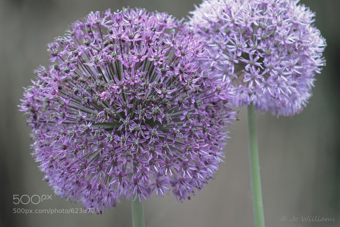 Photograph Allium's................ by jo williams on 500px