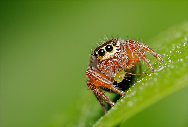 Photograph Jumping Spider by Rodrigo Mortágua on 500px