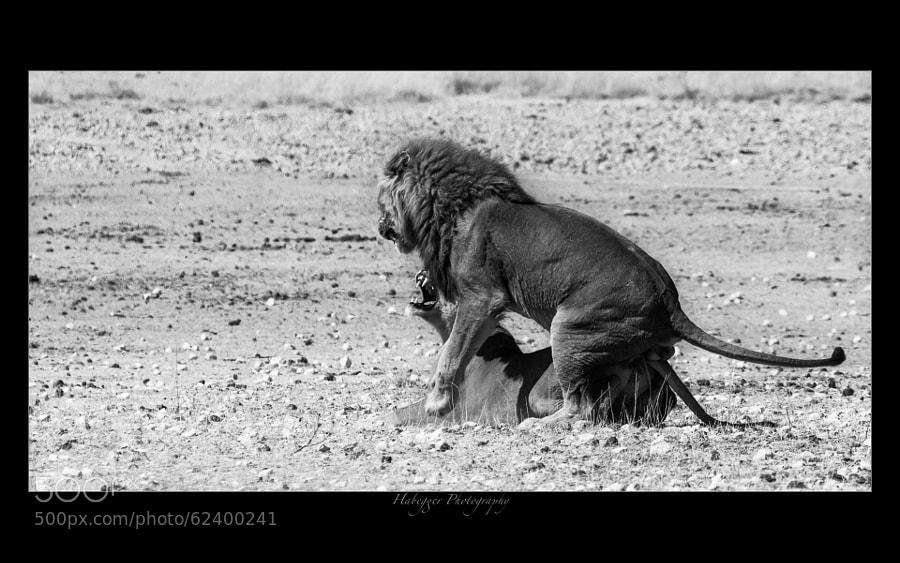 mating lions, etosha national park, namibia