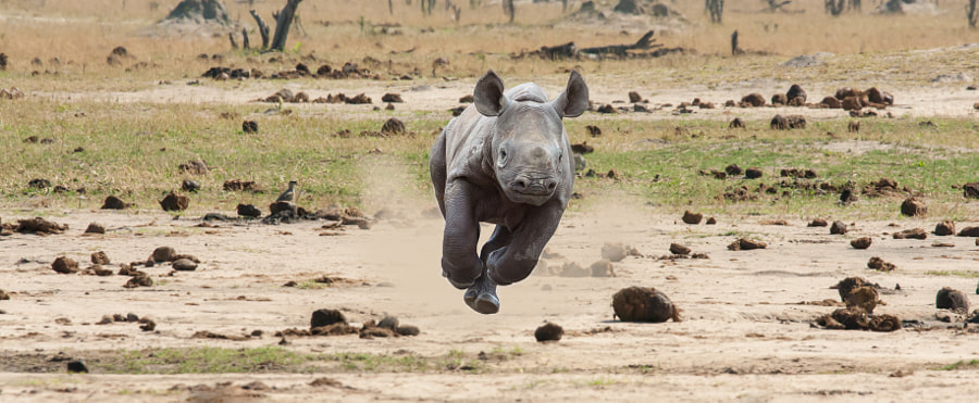 Photograph Baby Rhino by Jason Wharam on 500px