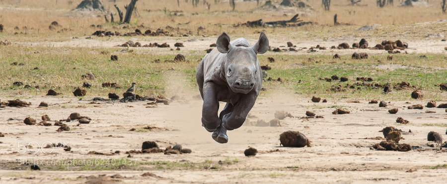 Photograph Baby Rhino by Jason Wharam on 500px