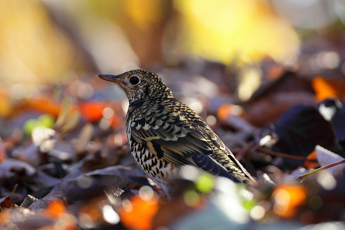 Photograph White's Thrush  by Namgun Lee on 500px