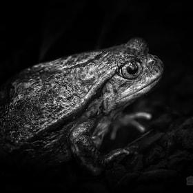 Kröte | Toad