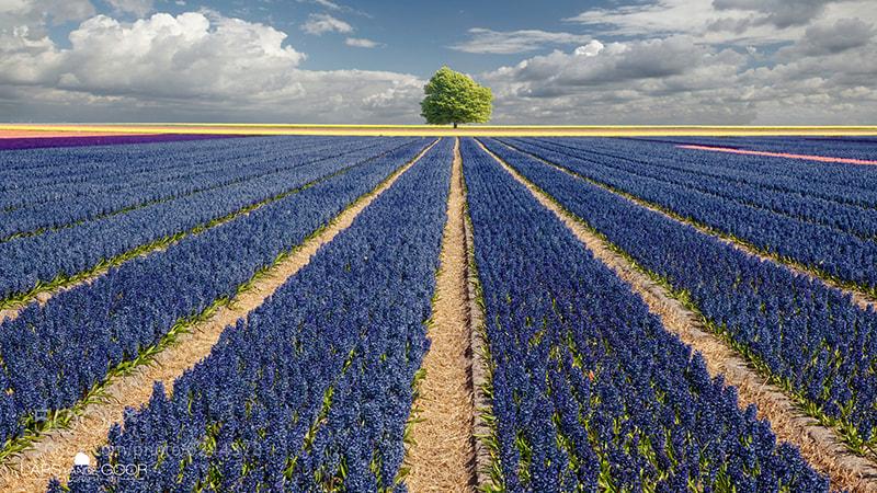 Photograph Hyacinths & Tree rldd by Lars van de Goor on 500px