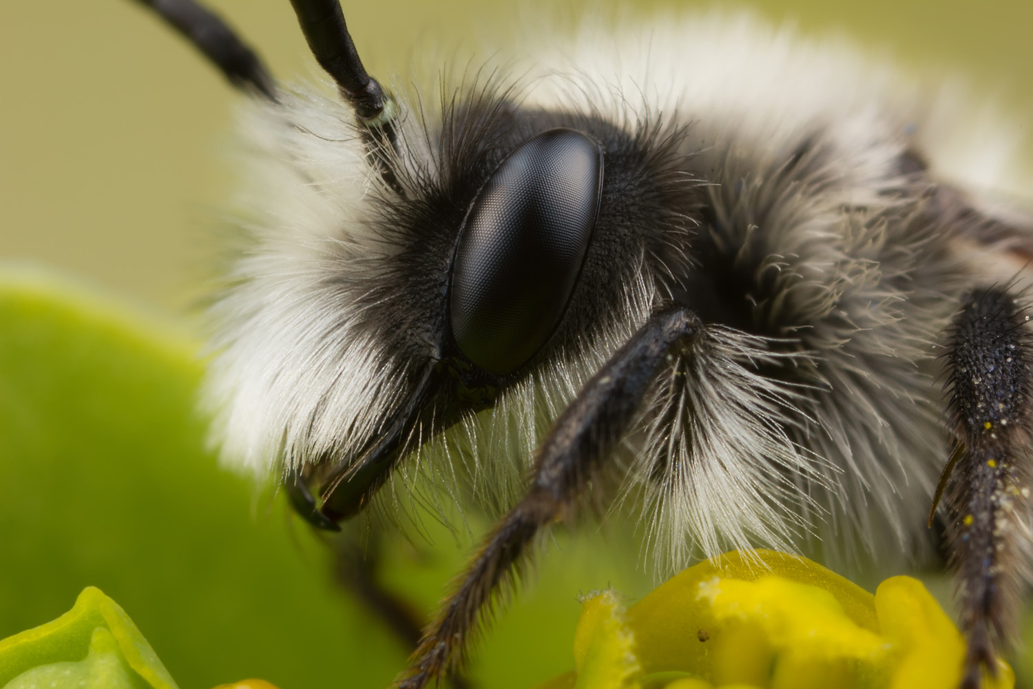 Photograph Miner Bee by Alistair Campbell on 500px