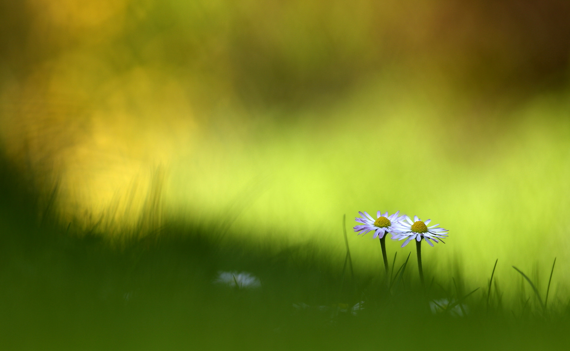 Photograph Twin daisies by Denis LAMBLIN on 500px