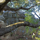 A tree that is 100+ years old in the mountains of Santa Barbara,, California.