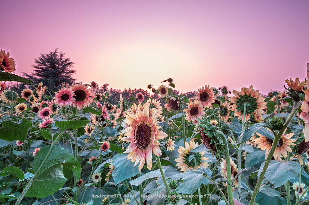 Photograph Sunflowers by Andrew Zhao on 500px