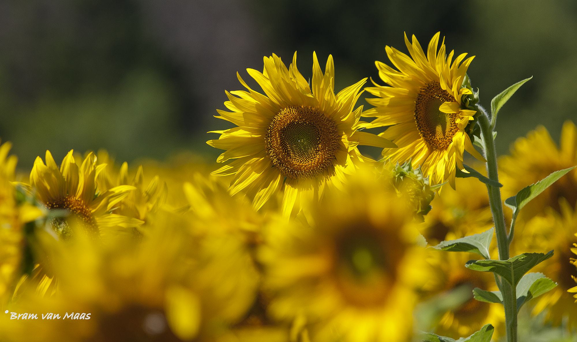 Photograph Les tournesols by Bram van Maas on 500px