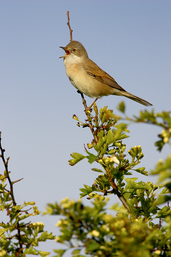 Photograph Whitethroat in full song by Nick Hanson on 500px