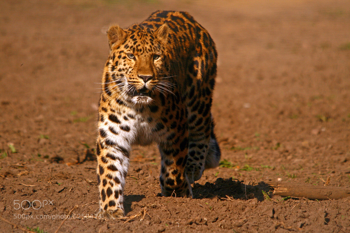 Photograph Amur Leopard by Jacqueline Bamber on 500px