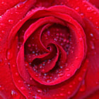������, ������: tears of a rose