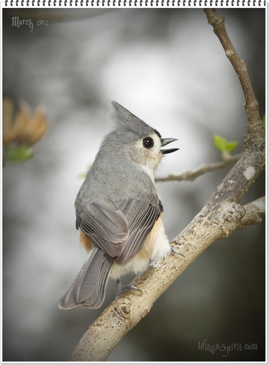 Photograph Tufted Titmouse by Linda FreedomBird on 500px