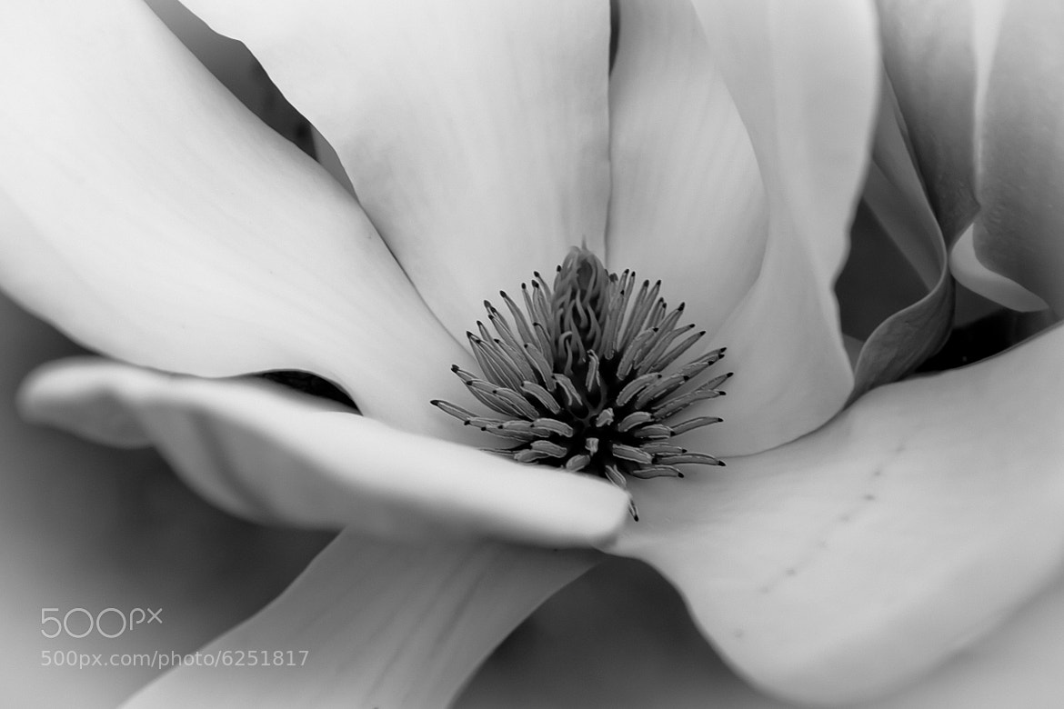 Photograph Magnolia - B&W Study by Lorene Lavora on 500px