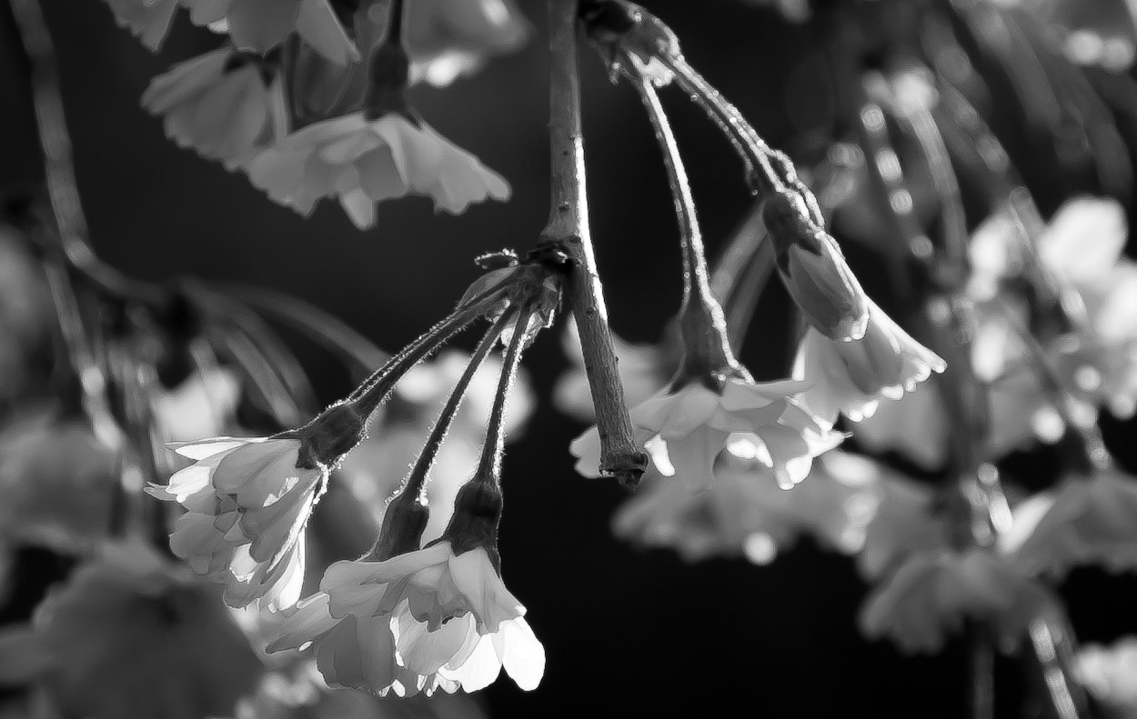 Photograph Weeping Cherry in B&W by Lorene Lavora on 500px