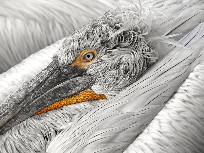 Photograph Pelican by Robert Fruehauf on 500px