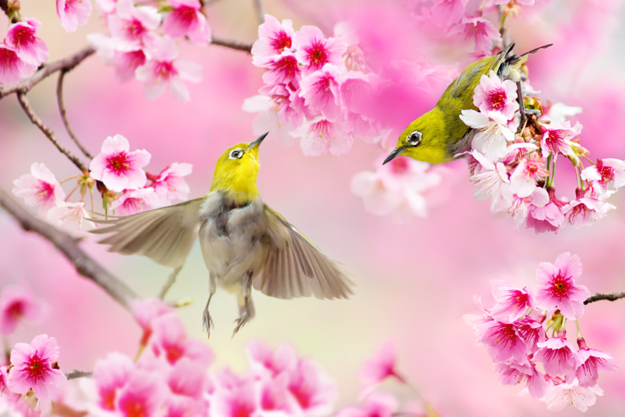 Japanese White-eye, автор — FuYi Chen на 500px.com