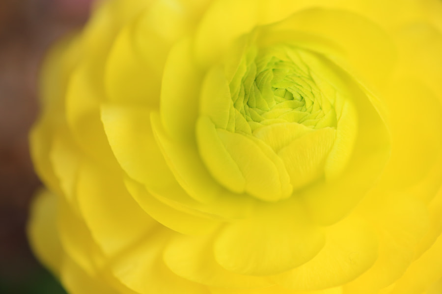 Photograph Yellow flower by Yos Kawapon on 500px