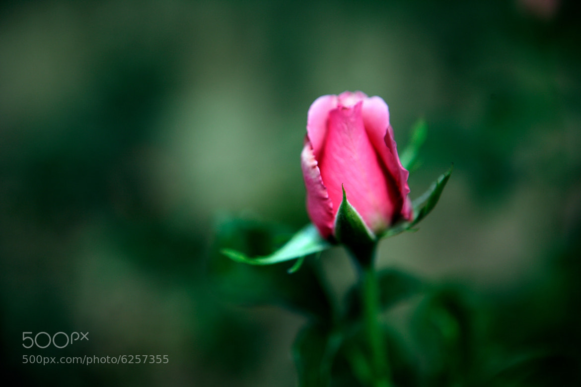 Photograph Rose button by Cristobal Garciaferro Rubio on 500px