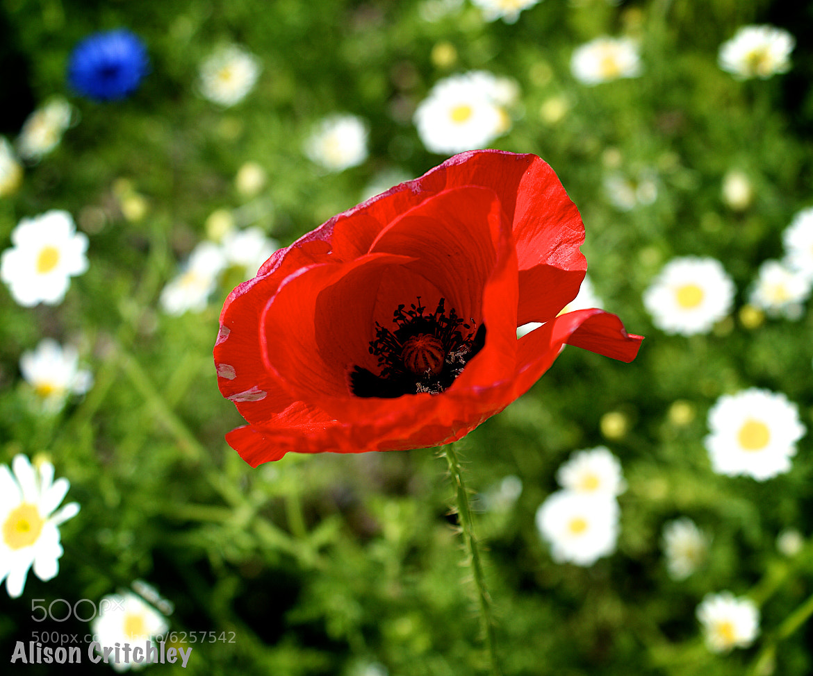 Photograph Poppy by Alison Critchley on 500px