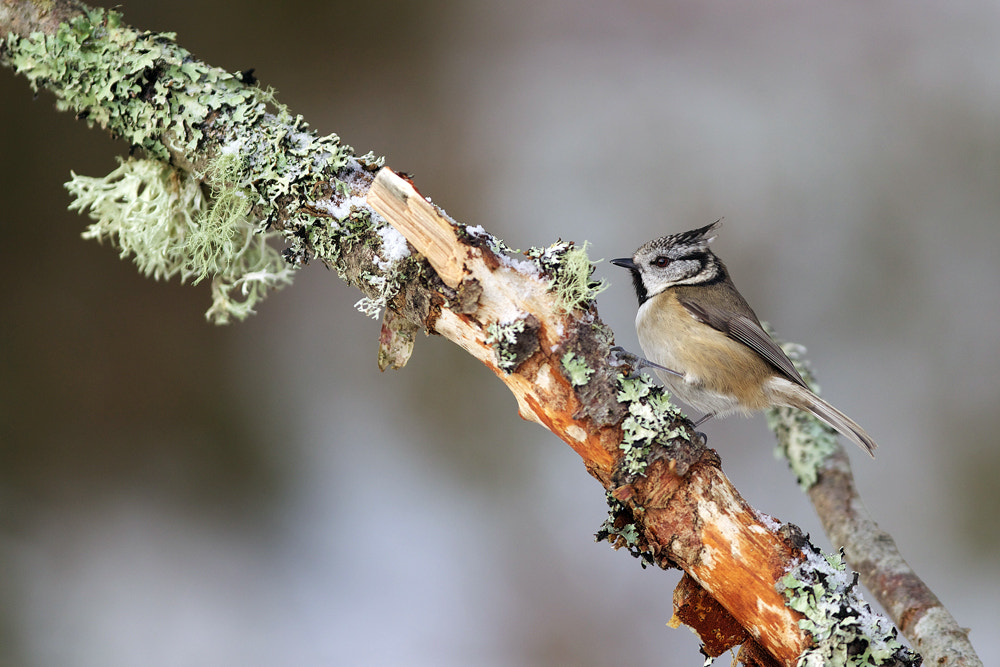 Photograph Crested Tit by John Betts on 500px