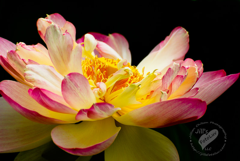 Photograph Expansion of the Lotus Soul by Jillian Chilson on 500px