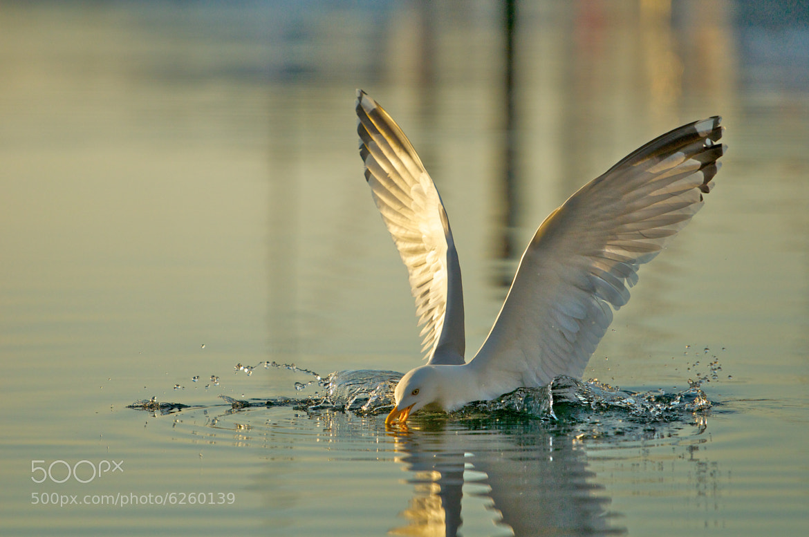 Photograph Herring Gull by Seb Loram on 500px