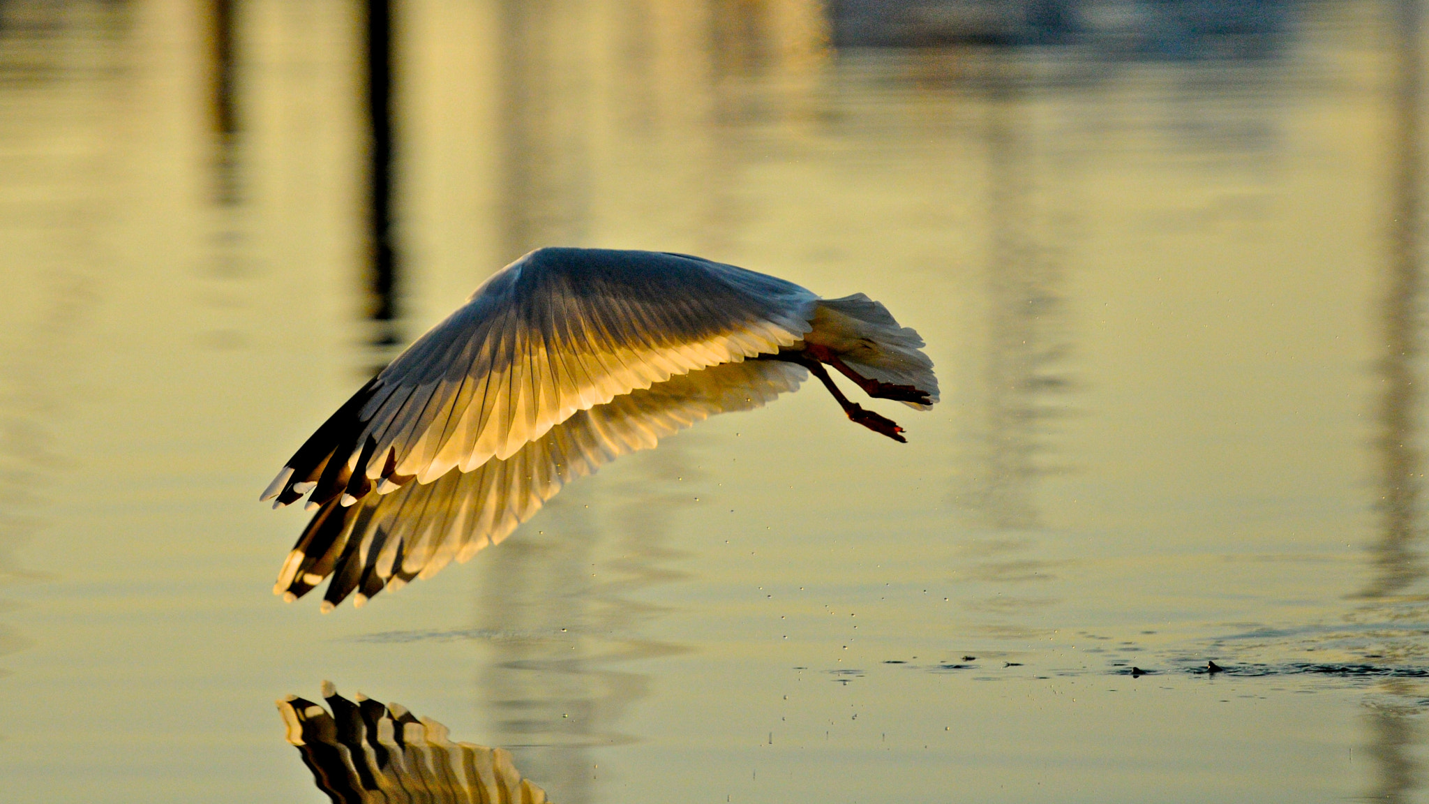 Photograph Swooping Gull Reflection by Seb Loram on 500px