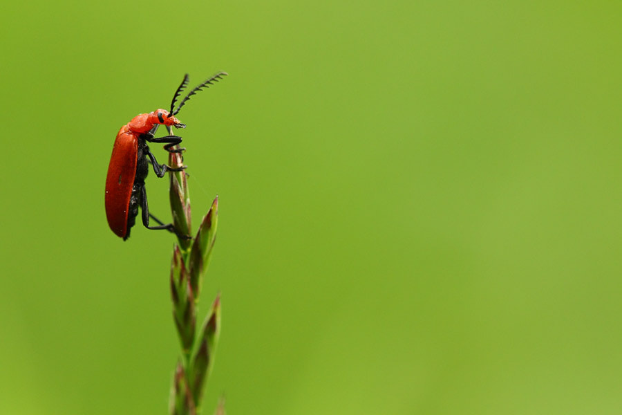 Photograph Red Bug  by Manfred Huszar on 500px