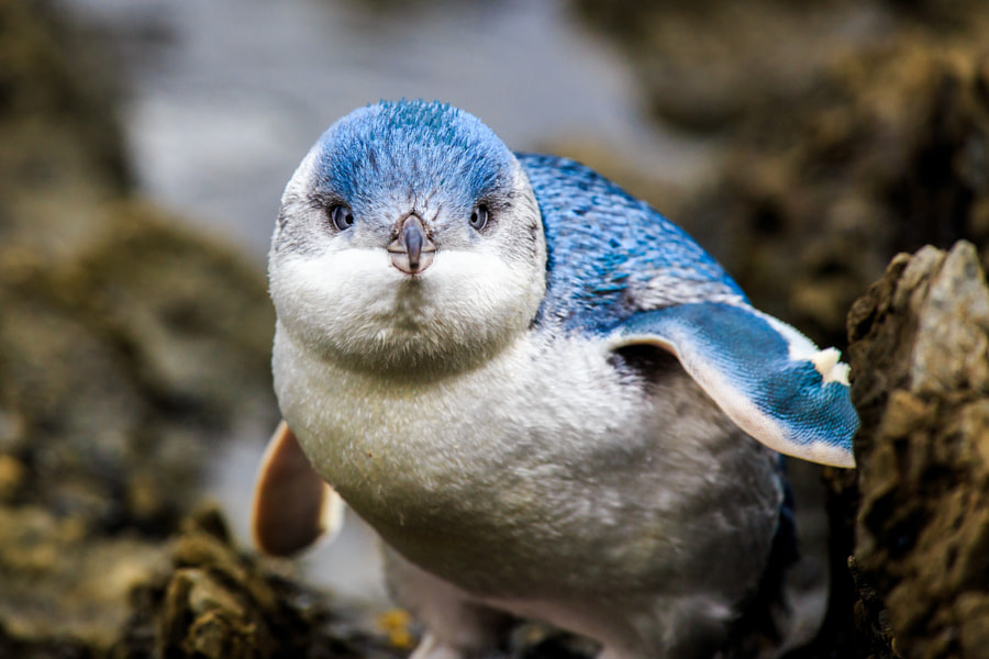 Little Blue Penguin baby by Fredrik Grääs on 500px.com