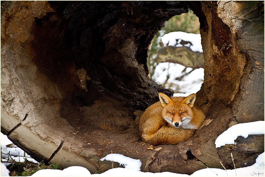 Photograph Fox one! by Jan Geerk on 500px