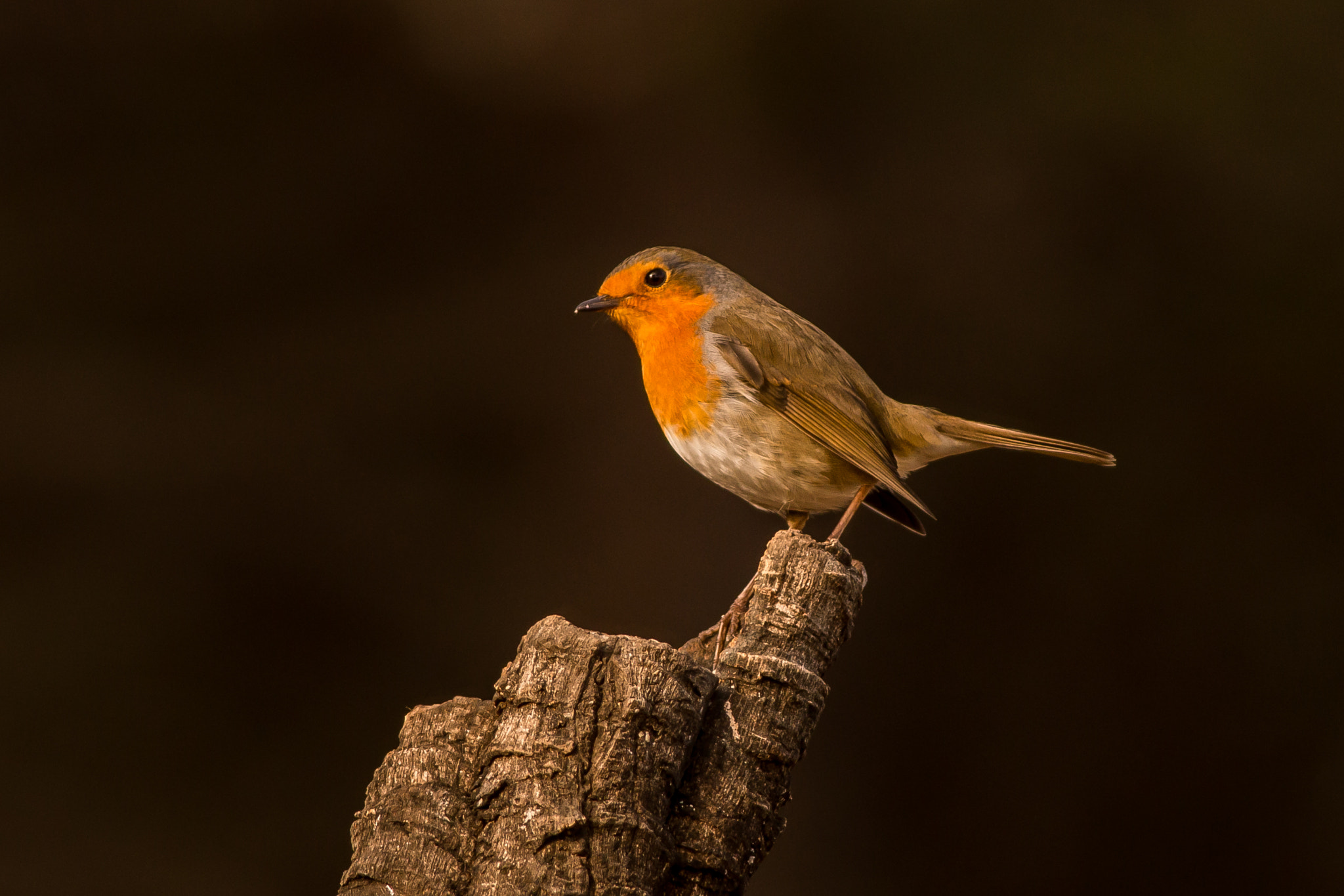 Photograph European Robin (Erithacus rubecula) by Oliver Reville on 500px