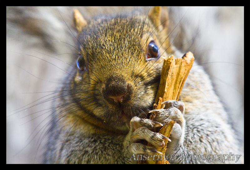 Photograph Squirrel Portrait by Frederic Ansermoz on 500px