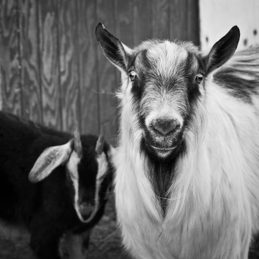 Photograph Flat Land Goats by Jim Tanton on 500px