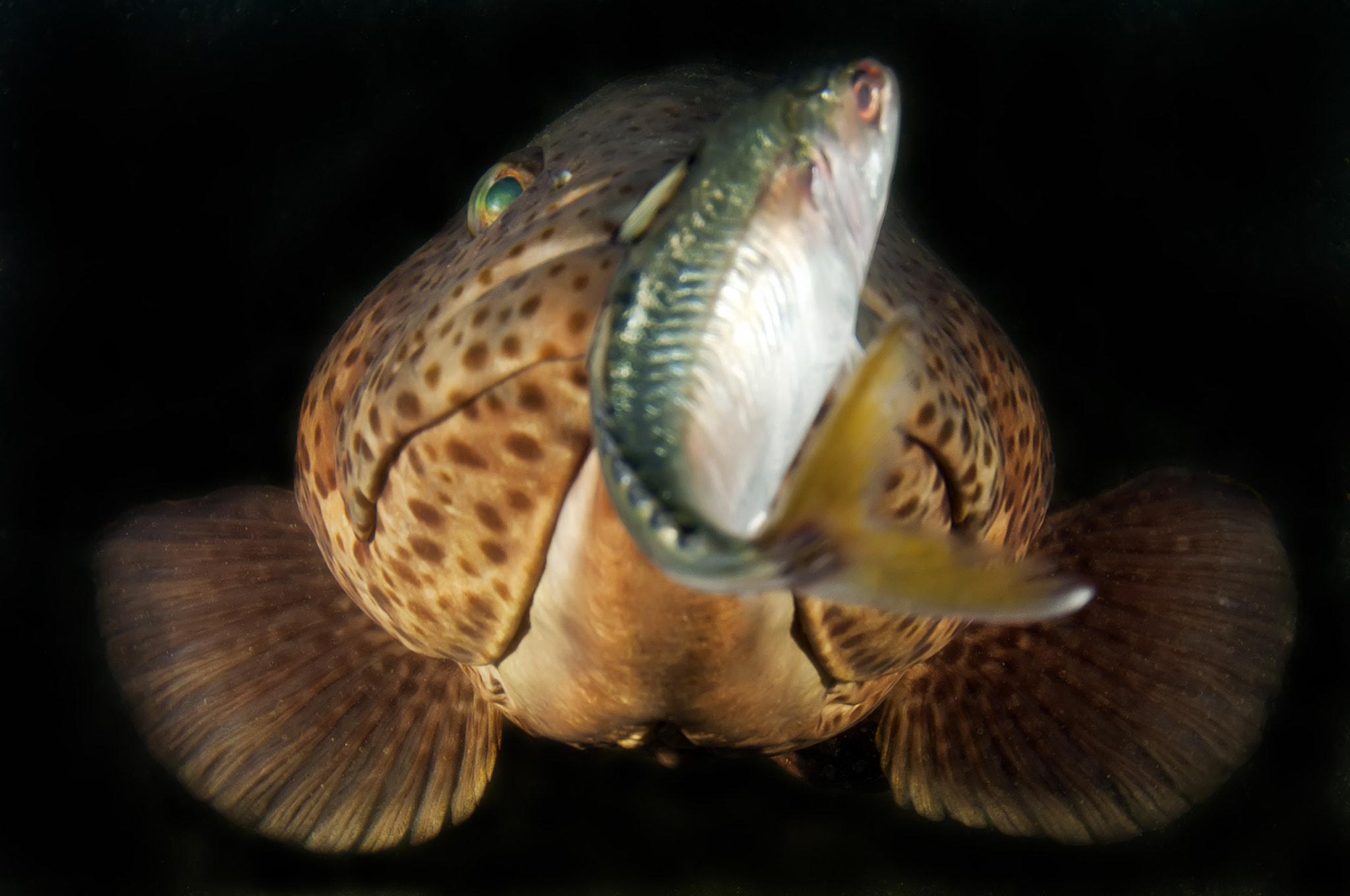 Photograph Grouper with Bait by Jonathan Lin on 500px