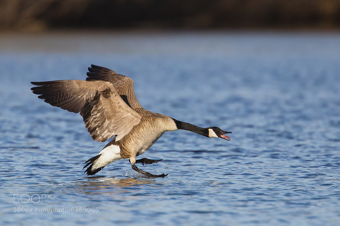 Photograph Canada Goose Honk by Kurt Bowman on 500px