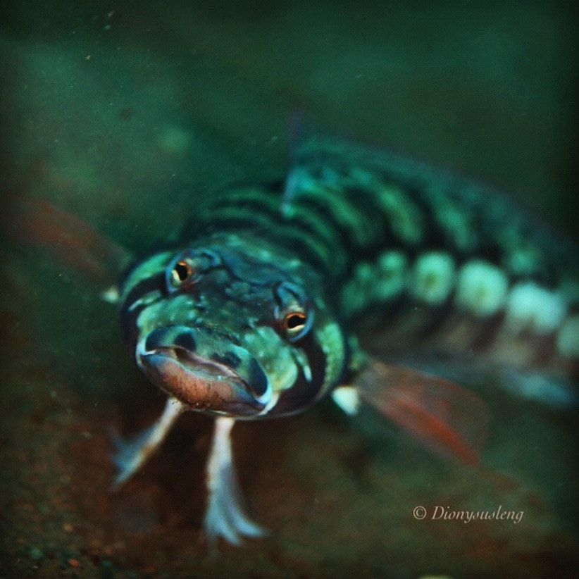 Photograph Portrait of a Sand Perch by Kirin Goh on 500px