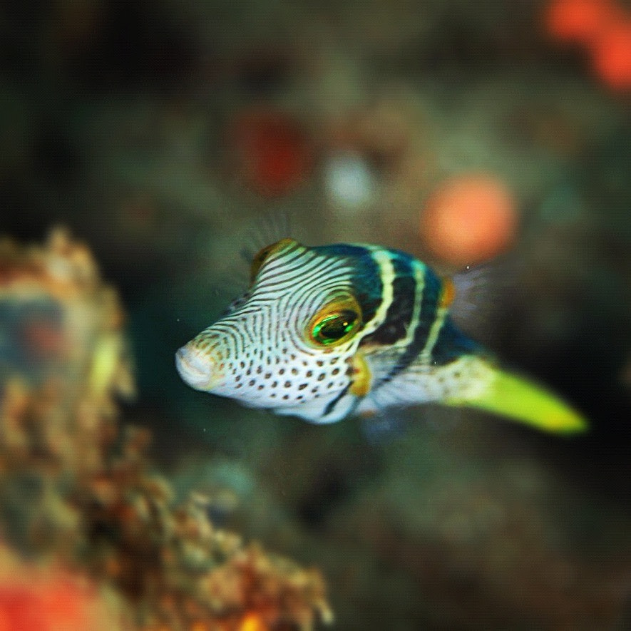 Photograph Black-Saddled Sharp Nose Puffer by Kirin Goh on 500px