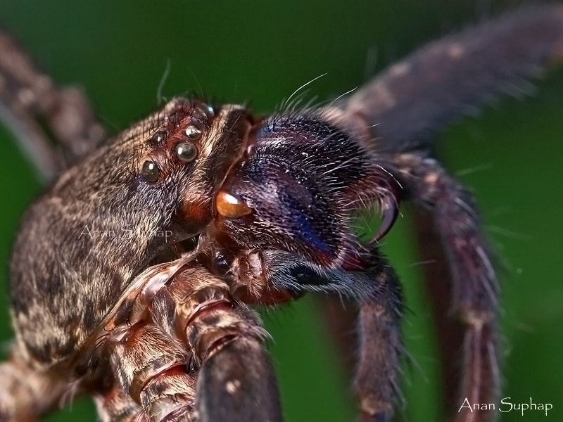 Photograph Spider by Anan Suphap on 500px