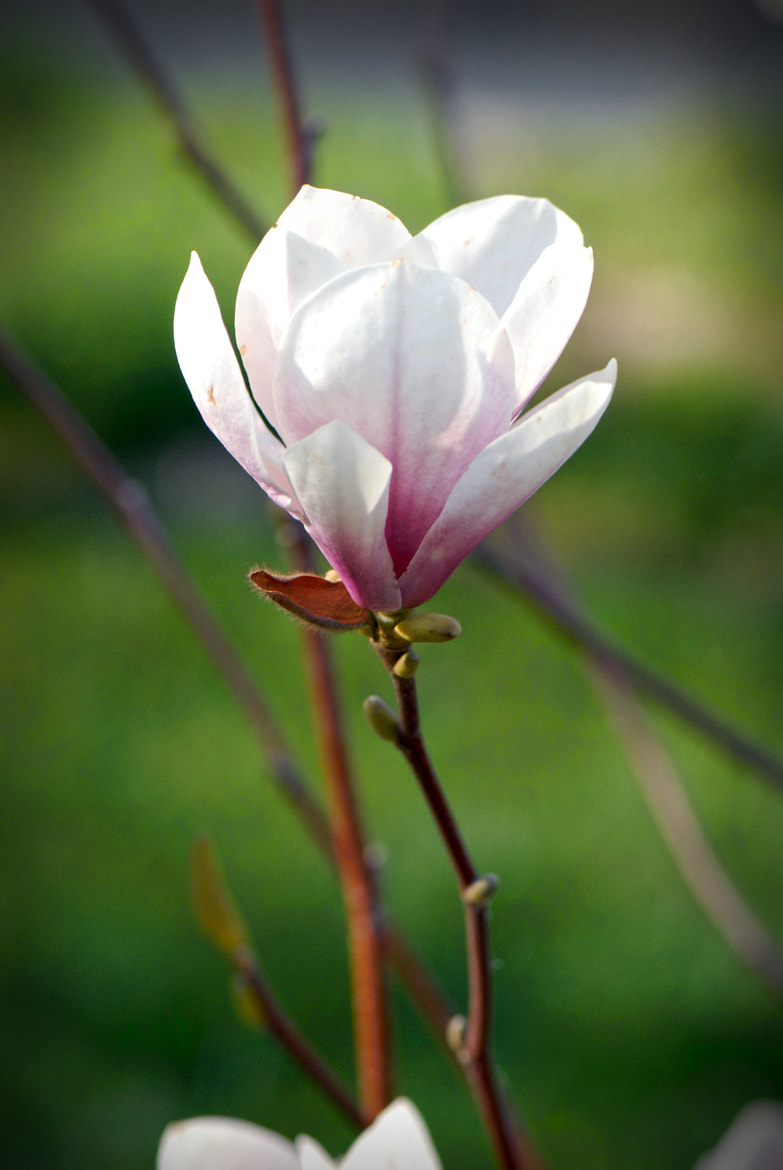 Photograph Magnolia flower by Victor  Trifan on 500px