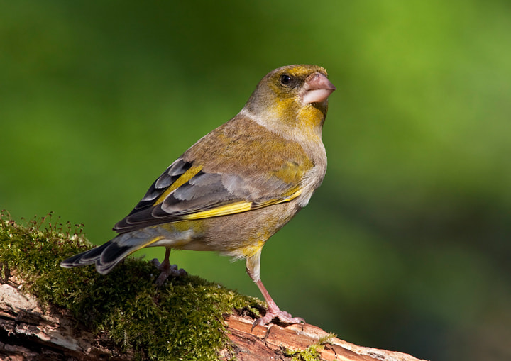 Photograph Greenfinch by Lea Roberts on 500px