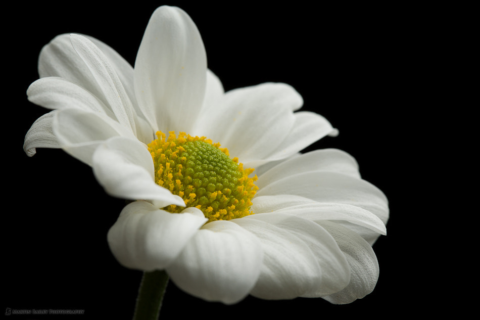 Photograph White Daisy by Martin Bailey on 500px