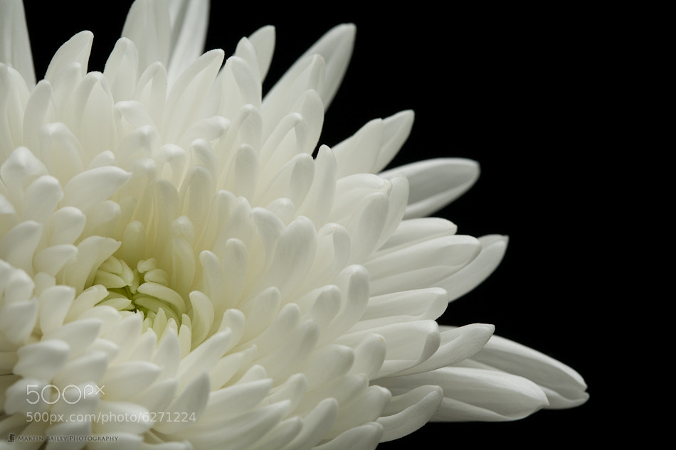 Photograph Beckoning (White Chrysanthemum) by Martin Bailey on 500px