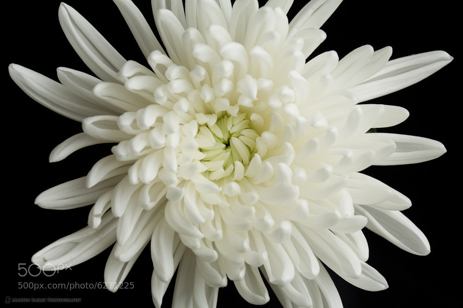 Photograph White Chrysanthemum by Martin Bailey on 500px