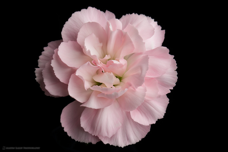 Photograph Pink Carnation (top) by Martin Bailey on 500px