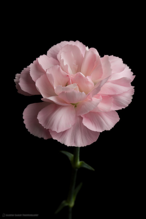 Photograph Pink Carnation by Martin Bailey on 500px