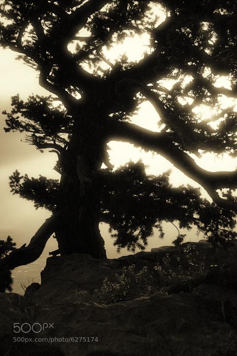 a tree on the Sandia Peak treeline