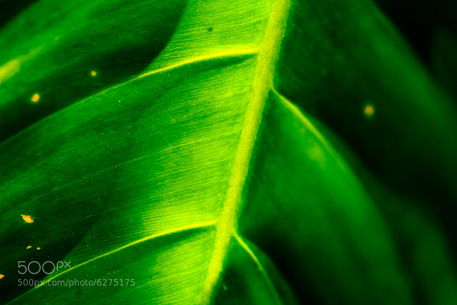 I am a plant maniac...I could shoot Costa Rican plants all day long.  I really liked the pleating and shadows on this.